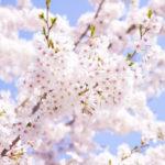 愛知の桜が綺麗な名所&穴場おすすめお花見スポット43選!
